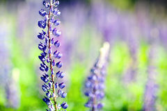 Lupine flower Stock Photography