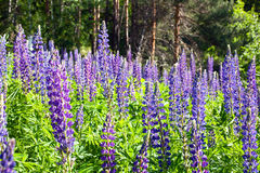 Lupine flower Stock Image