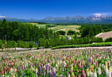 Lupine flower field in summer with mountain background Stock Images