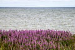 Lupine flower near the shore Stock Image