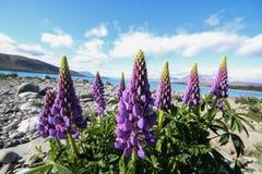 Lupine flower  new zealand Stock Photo
