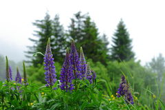 Lupine flower plant in Black Forest nature reserve Royalty Free Stock Image