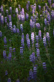Lupine flower Royalty Free Stock Image