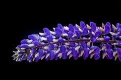 Lupine flower in studio. Stock Photos