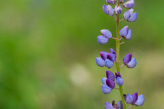 Lupine Flower Stock Photos