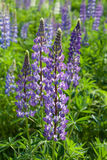 Lupine flowers Royalty Free Stock Photos
