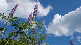 Lupine flowers stock video footage