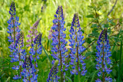Lupine flowers against blur yellow and green background Royalty Free Stock Photo