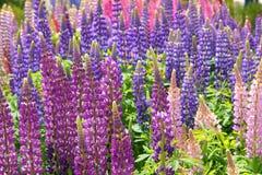 Lupine flowers Stock Photos