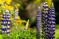 White and purple tall Lupine flowers during spring blossom with selective focus and blurred background royalty free stock photography