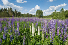 Lupine flowers in blue sky Royalty Free Stock Photos