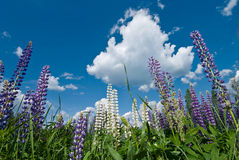 Lupine flowers in blue sky Stock Photography