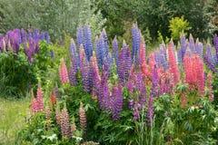 Lupine flowers Stock Photo