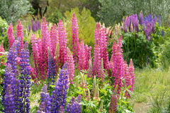 Lupine flowers Stock Image