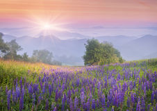 Lupine flowers in dew on the meadow in the mountains of the cool Stock Photo