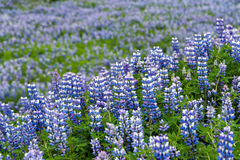Lupine flowers field Stock Image