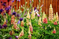 Lupine flowers in a garden. Royalty Free Stock Photos