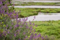 Lupine flowers growing on the shores of Alviso Marsh, Don Edwards Wildlife refuge, San Jose, California stock photo