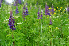 Lupine flowers in herbal meadow Stock Photos
