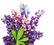 Lupine flowers isolated. On a white background stock images