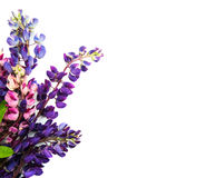 Lupine flowers isolated Royalty Free Stock Photography