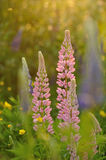 Lupine flowers Stock Photography