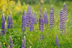 Lupine flowers Royalty Free Stock Image