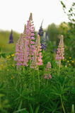 Lupine flowers Stock Photos