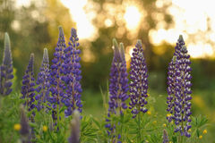 Lupine flowers Stock Images