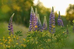 Lupine flowers Stock Photo