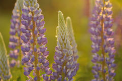 Lupine flowers Royalty Free Stock Photography