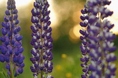 Lupine flowers Royalty Free Stock Photo