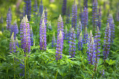 Lupine flowers ( Lupinus polyphyllus ) Stock Photography