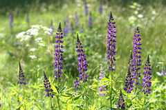 Lupine flowers ( Lupinus polyphyllus ) Stock Image