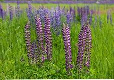 Lupine flowers meadow Stock Photo