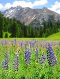 Lupine flowers on mountain meadow Stock Photography