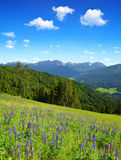 Lupine flowers on mountain meadow. Stock Image