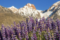 Lupine Flowers With Mountains Stock Photos