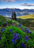 Lupine Flowers and Olympic Mountains, Washington State. Lupine flowers and the Olympic Mountain Range, Washington State Stock Images