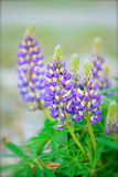 Lupine Flowers Royalty Free Stock Images