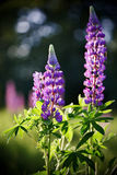 Lupine flowers. Stock Photography
