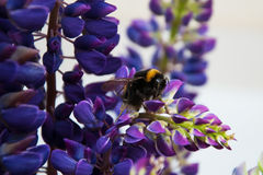 Lupine flowes  and bumblebee Royalty Free Stock Images