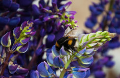 Lupine flowes  and bumblebee Royalty Free Stock Photo