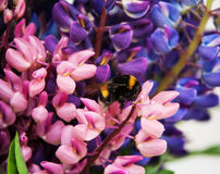 Lupine flowes  and bumblebee Stock Photos