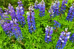 Blooming Lupine in Chugach National Forest Alaska. Lupine in full bloom in June along the Seward Highway in the Chugach National Forest stock images