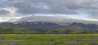 Lupine and Glacier Stock Image