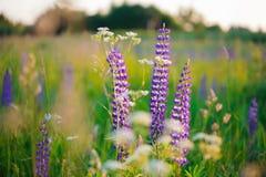 lupine Grande-com folhas (polyphyllus do Lupinus) Fotografia de Stock