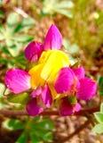 Lupine Harelquin Стоковые Изображения RF