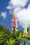 Lupine hybride photo stock