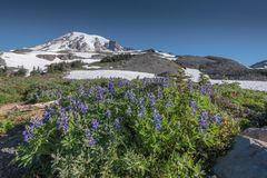 Lupine i fält nedanför Mount Rainier och Burroughs royaltyfri bild